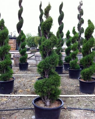 Juniperus chinensis 'Hetzii', Chinese Juniper