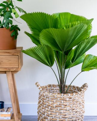 Licuala grandis, Licuala Palm