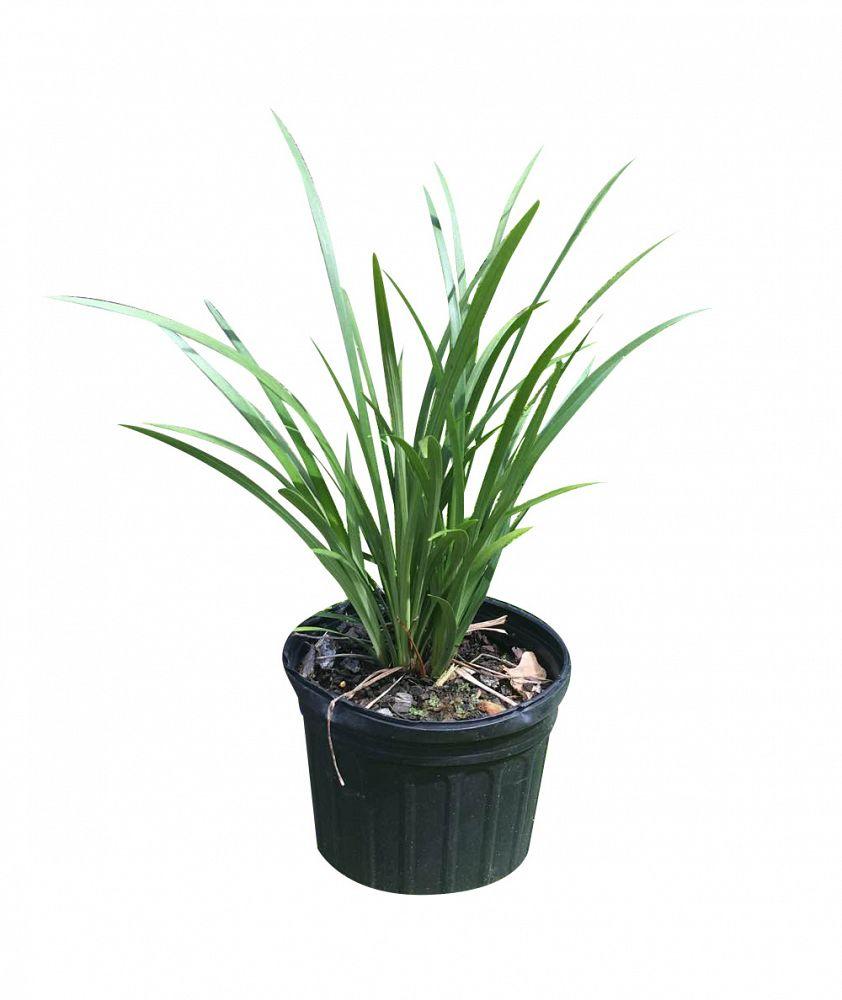 Buy Liriope Muscari Evergreen Giant Lilyturf Free Shipping Over