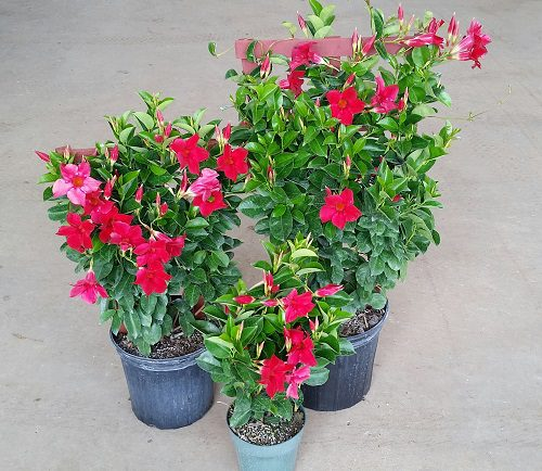 Mandevilla Sun Parasol Crimson Dipladenia Plantvine