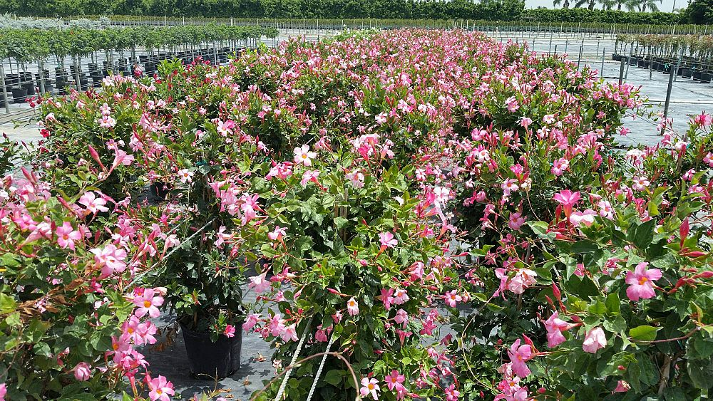 mandevilla 39 sun parasol pretty pink 39 dipladenia plantvine. Black Bedroom Furniture Sets. Home Design Ideas
