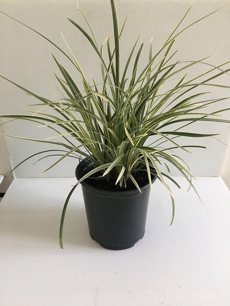 Buy Ophiopogon Intermedius Argenteomarginatus Aztec Grass