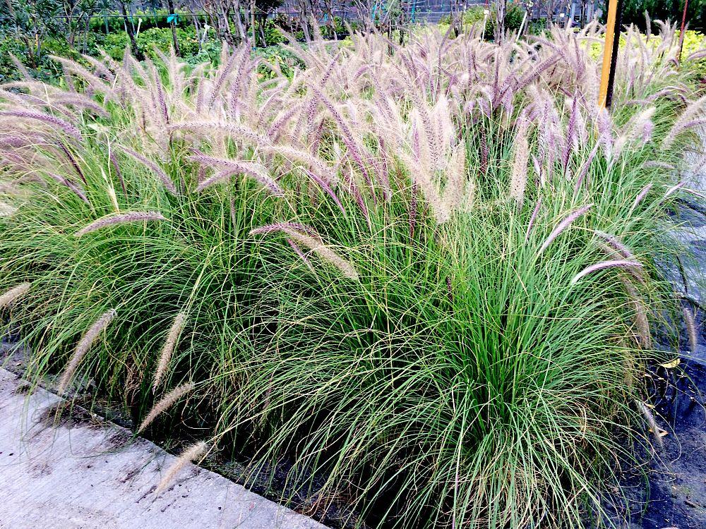 pennisetum setaceum 39 alba 39 fountain grass 39 white 39 plantvine. Black Bedroom Furniture Sets. Home Design Ideas