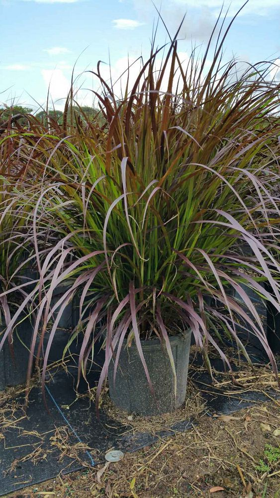 Pennisetum setaceum 39 rubrum 39 purple fountain grass red for Fountain grass
