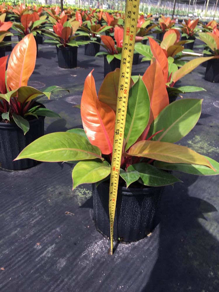 Philodendron 'Prince Of Orange' | PlantVine