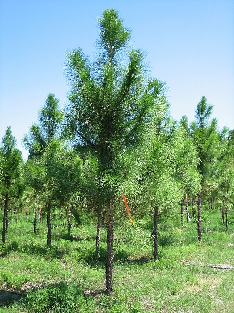Which Trees Are Used To Make Paper: Pinus Elliottii, Slash Pine