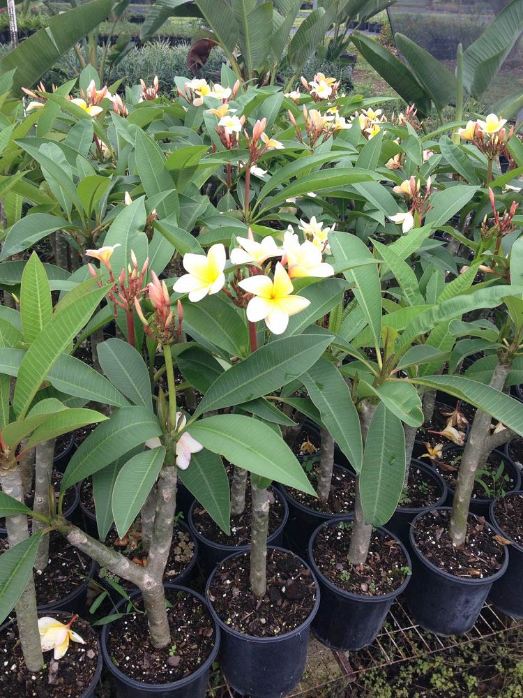Plumeria spp frangipani plantvine for In a garden 26 trees are planted