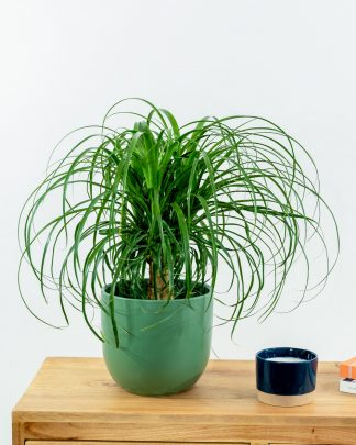 Beaucarnea recurvata, Ponytail Palm