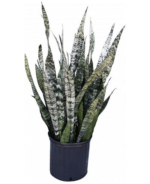 sansevieria zeylanica snake plant mother in law 39 s tongue. Black Bedroom Furniture Sets. Home Design Ideas