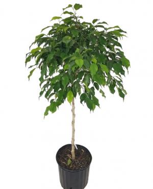 Ficus benjamina 'Wintergreen', Weeping Fig