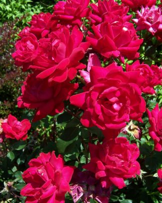 Rosa 'Radtko', Rose 'Knock Out (R) Double Red', Knockout Rose