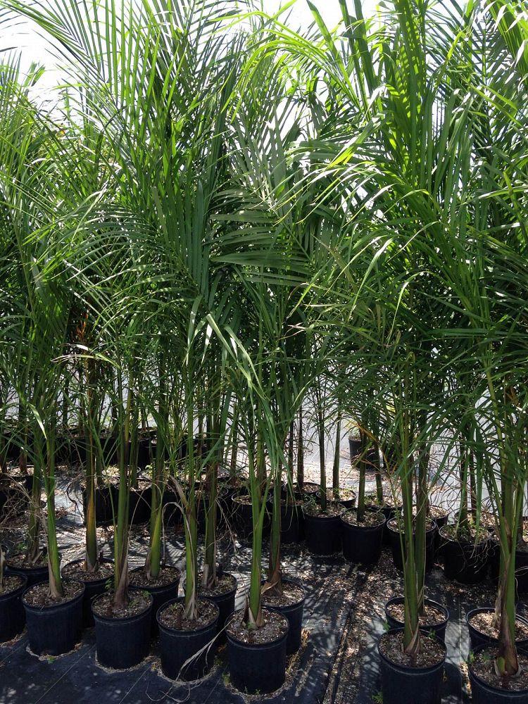 Roystonea regia, Roystonea elata, Florida Royal Palm ...