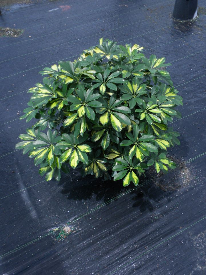 Schefflera arboricola 39 gold capella 39 umbrella tree for Schefflera arboricola