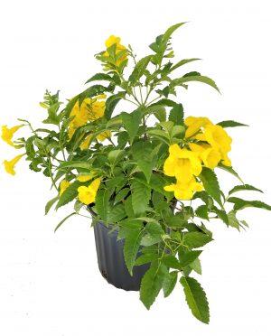Tecoma stans, Yellow Elder, Esperanza, Trumpetflower, Bells of Fire