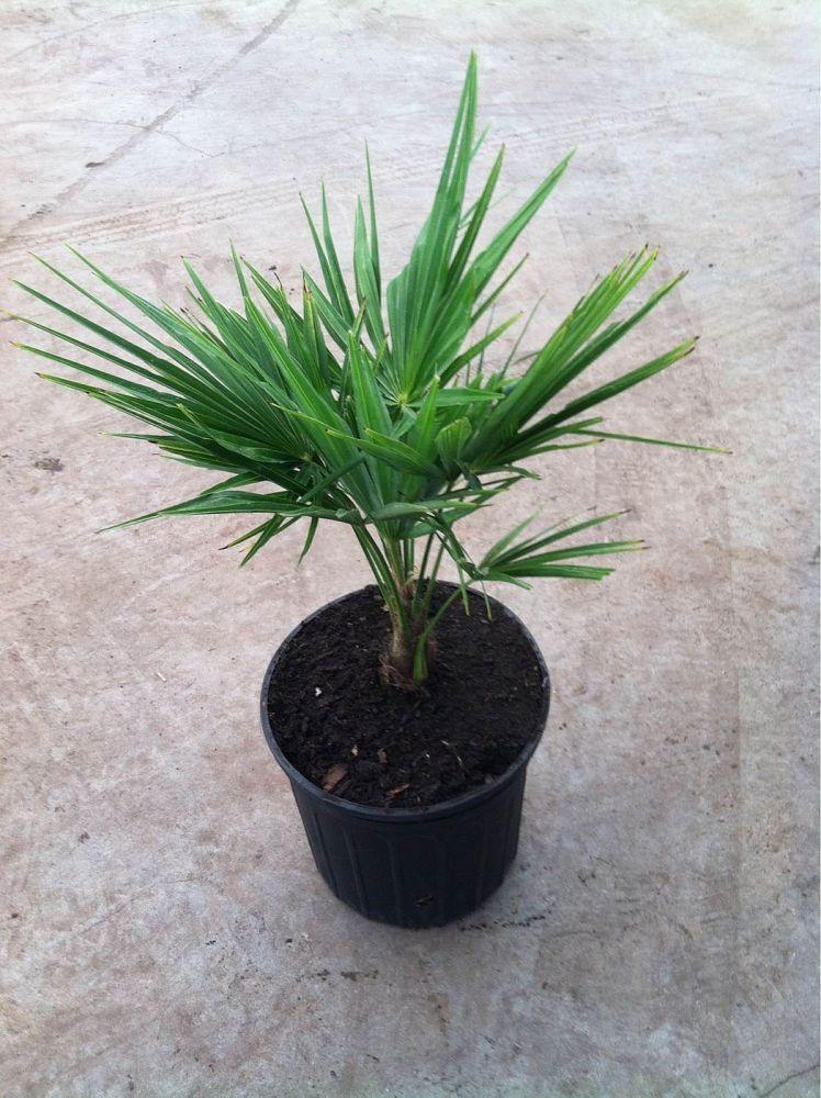 trachycarpus fortunei windmill palm plantvine. Black Bedroom Furniture Sets. Home Design Ideas