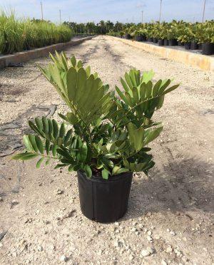 Cycads plantvine for Planta ornamental zamia