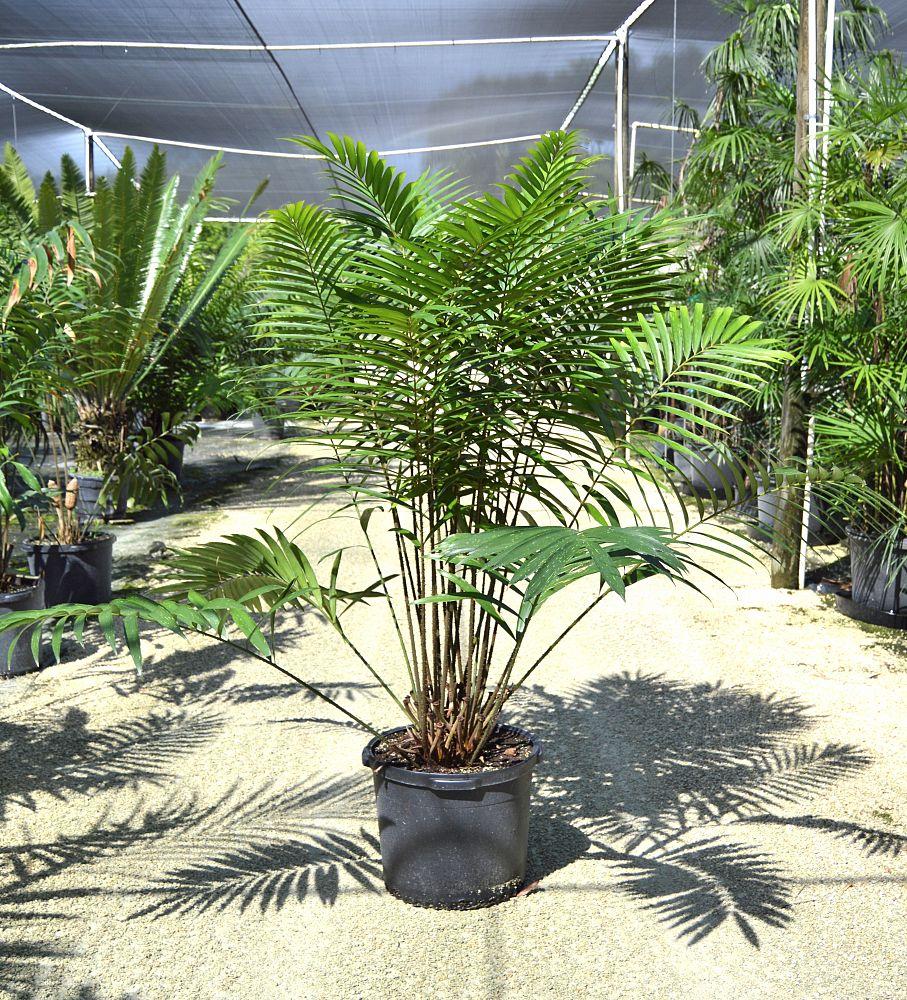 Zamia picta plantvine for Planta ornamental zamia